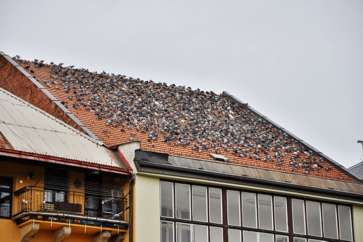 A2B Pest Control are able to install spikes to deter birds from roofs in Great Dunmow.